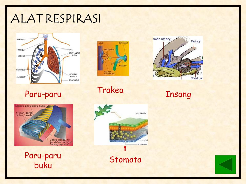 BERNAPAS (RESPIRASI) Bernapas adalah proses pengambilan oksigen dari lingkungan dan pengeluaran karbon dioksida beserta uap air C 6 H 12 O 6 + 6O 2 6H