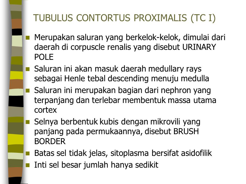 TUBULUS CONTORTUS PROXIMALIS (TC I) Merupakan saluran yang berkelok-kelok, dimulai dari daerah di corpuscle renalis yang disebut URINARY POLE Saluran