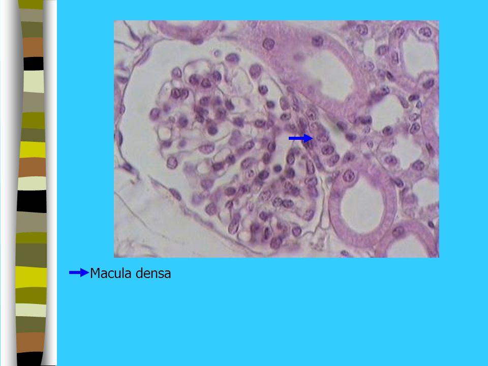 Macula densa