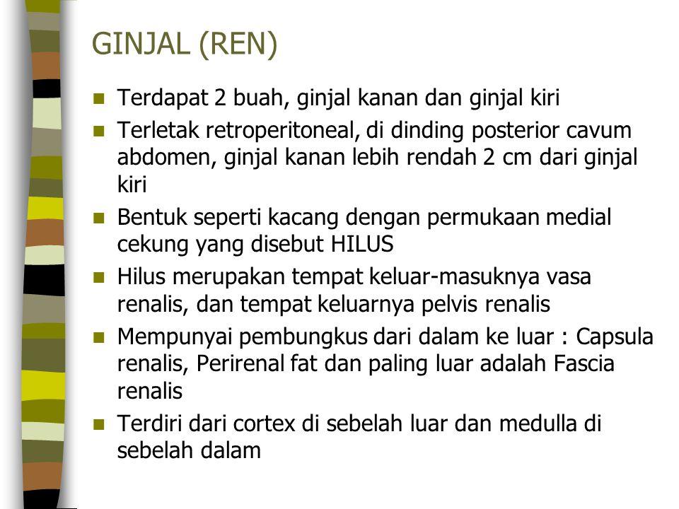 GINJAL (REN) Terdapat 2 buah, ginjal kanan dan ginjal kiri Terletak retroperitoneal, di dinding posterior cavum abdomen, ginjal kanan lebih rendah 2 c