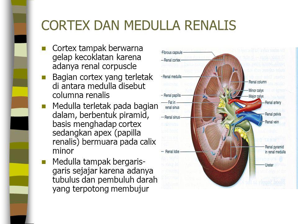CORTEX DAN MEDULLA RENALIS Cortex tampak berwarna gelap kecoklatan karena adanya renal corpuscle Bagian cortex yang terletak di antara medulla disebut