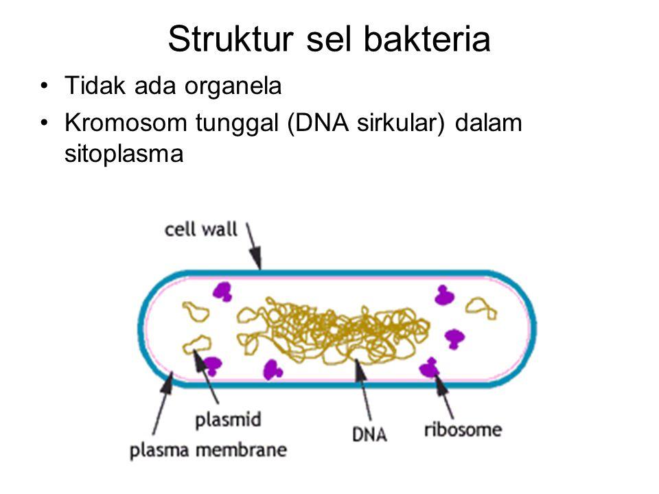 Tidak ada organela Kromosom tunggal (DNA sirkular) dalam sitoplasma