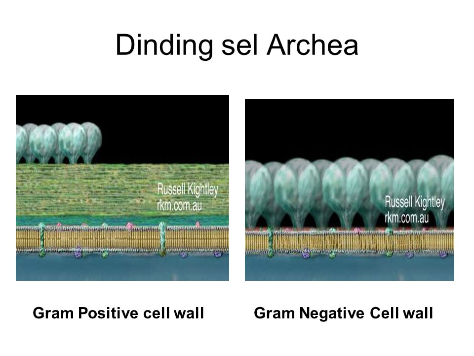 Dinding sel Archea Gram Positive cell wallGram Negative Cell wall