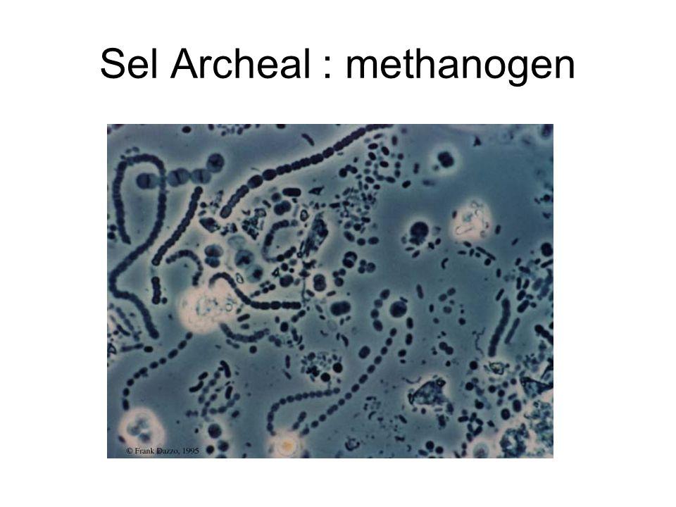 Sel Archeal : methanogen