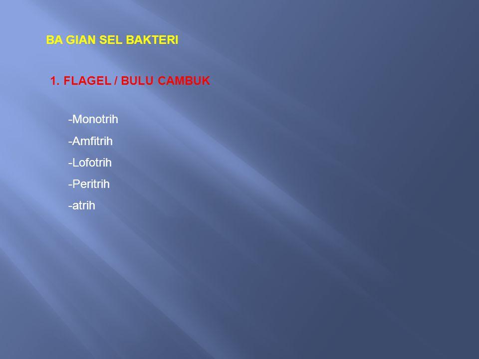 BA GIAN SEL BAKTERI 1. FLAGEL / BULU CAMBUK -Monotrih -Amfitrih -Lofotrih -Peritrih -atrih