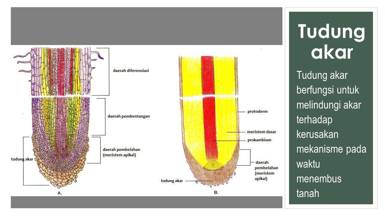 Tudung akar Tudung akar berfungsi untuk melindungi akar terhadap kerusakan mekanisme pada waktu menembus tanah