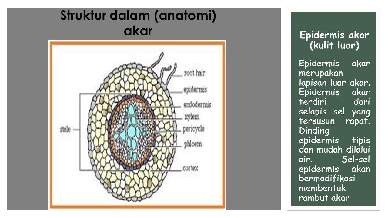 Epidermis akar (kulit luar) Epidermis akar merupakan lapisan luar akar. Epidermis akar terdiri dari selapis sel yang tersusun rapat. Dinding epidermis