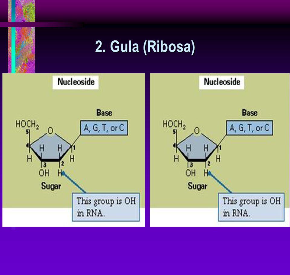 2. Gula (Ribosa)