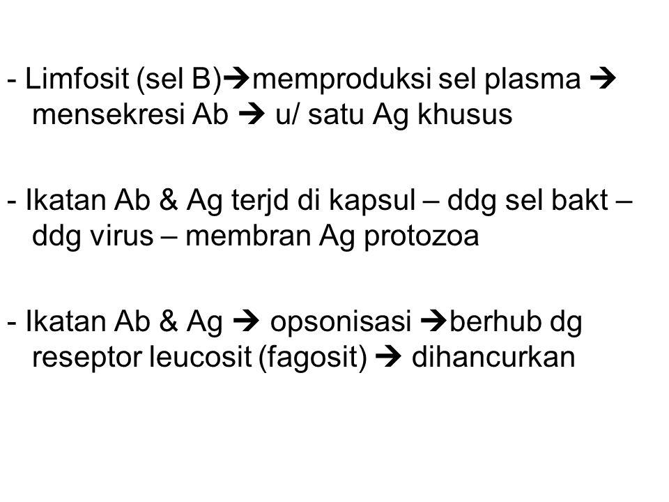 - Limfosit (sel B)  memproduksi sel plasma  mensekresi Ab  u/ satu Ag khusus - Ikatan Ab & Ag terjd di kapsul – ddg sel bakt – ddg virus – membran Ag protozoa - Ikatan Ab & Ag  opsonisasi  berhub dg reseptor leucosit (fagosit)  dihancurkan