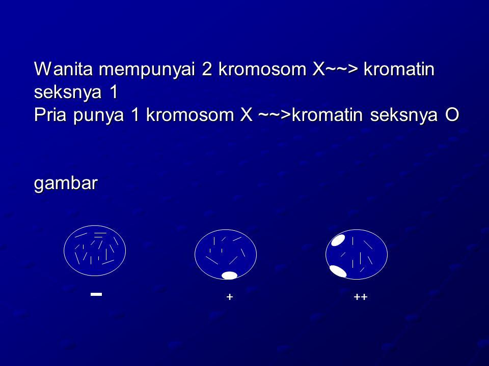 Wanita mempunyai 2 kromosom X~~> kromatin seksnya 1 Pria punya 1 kromosom X ~~>kromatin seksnya O gambar +++