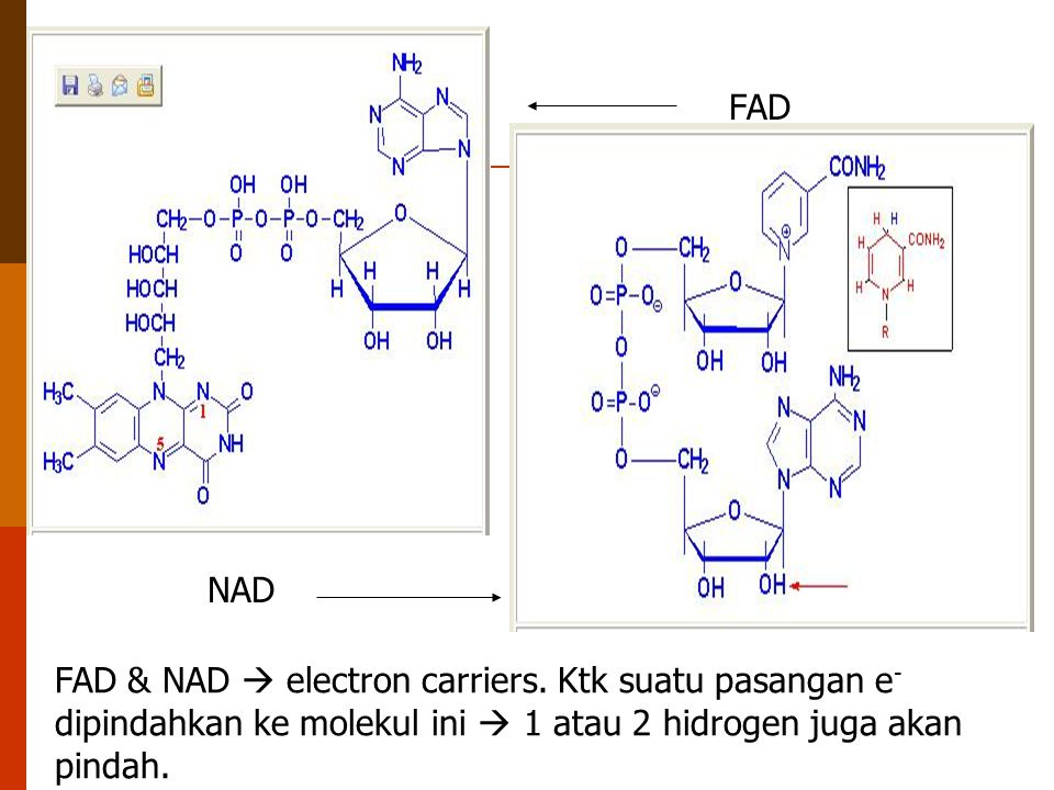 FAD NAD FAD & NAD  electron carriers. Ktk suatu pasangan e - dipindahkan ke molekul ini  1 atau 2 hidrogen juga akan pindah.