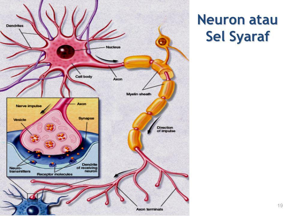 Neuron atau Sel Syaraf 19