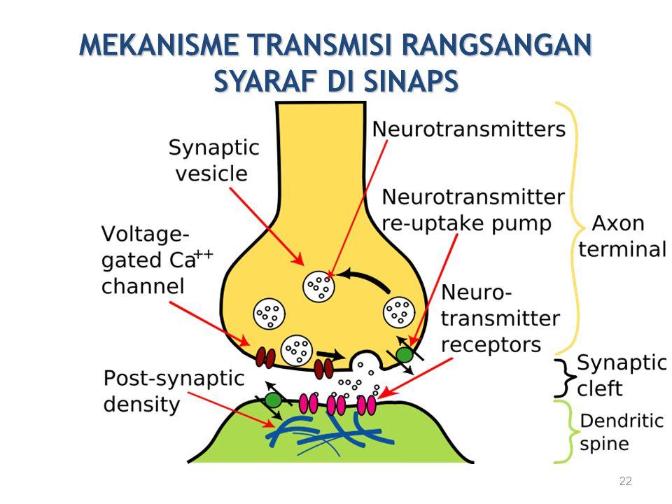 MEKANISME TRANSMISI RANGSANGAN SYARAF DI SINAPS 22