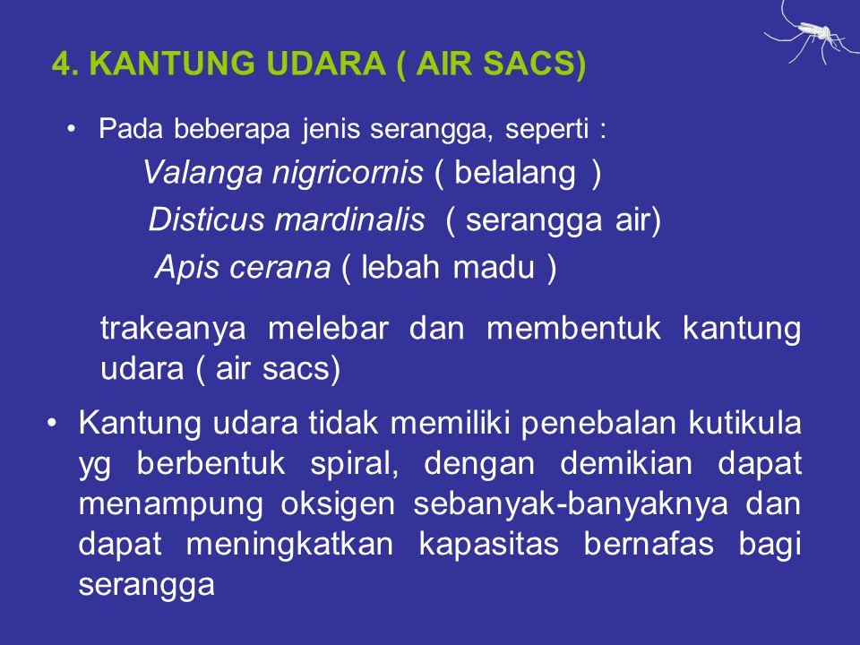 4. KANTUNG UDARA ( AIR SACS) Pada beberapa jenis serangga, seperti : trakeanya melebar dan membentuk kantung udara ( air sacs) Valanga nigricornis ( b