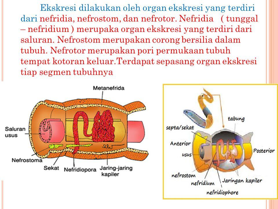 Ekskresi dilakukan oleh organ ekskresi yang terdiri dari nefridia, nefrostom, dan nefrotor. Nefridia ( tunggal – nefridium ) merupaka organ ekskresi y
