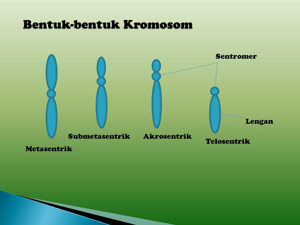 Kromosom terdiri atas dua bagian yaitu kepala dan lengan kromosom. Kepala kromosom disebut sentromer dan lengan kromosom atau lokus merupakan badan kr