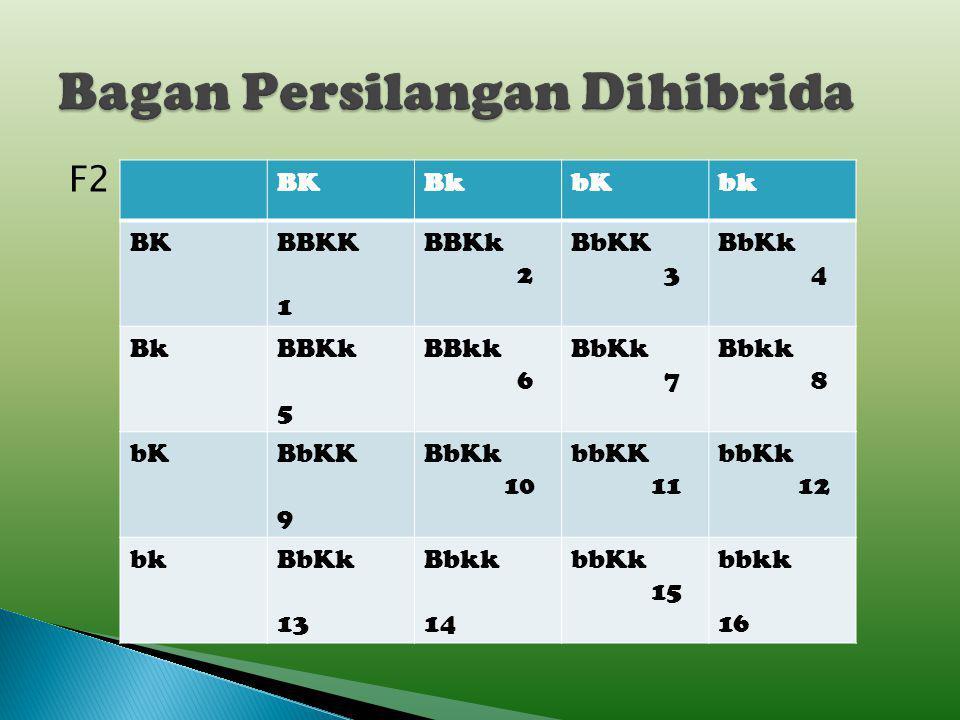 P2:F1xF1BbKk Fenotipe: (bulat-kuning) (bulat-kuning) Gamet: BK,Bk,bK,bk xBK,Bk, bK,bk F2