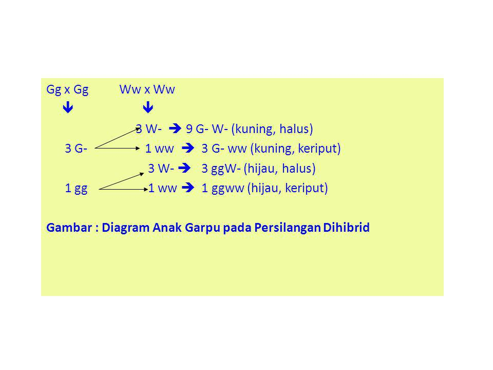 Gg x Gg Ww x Ww  3 W-  9 G- W- (kuning, halus) 3 G-1 ww  3 G- ww (kuning, keriput) 3 W-  3 ggW- (hijau, halus) 1 gg 1 ww  1 ggww (hijau, keriput)