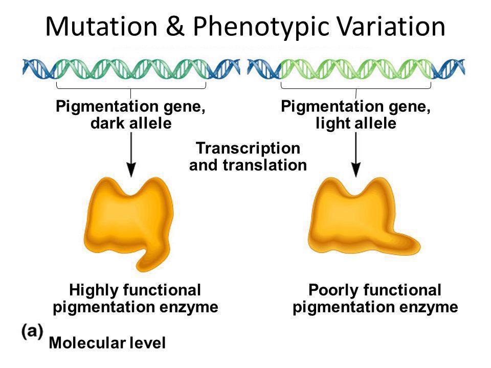 Pigmentation gene, dark allele Pigmentation gene, light allele Transcription and translation Highly functional pigmentation enzyme Poorly functional p
