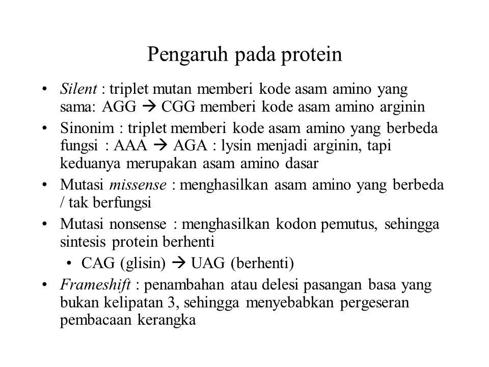 Pengaruh pada protein Silent : triplet mutan memberi kode asam amino yang sama: AGG  CGG memberi kode asam amino arginin Sinonim : triplet memberi ko