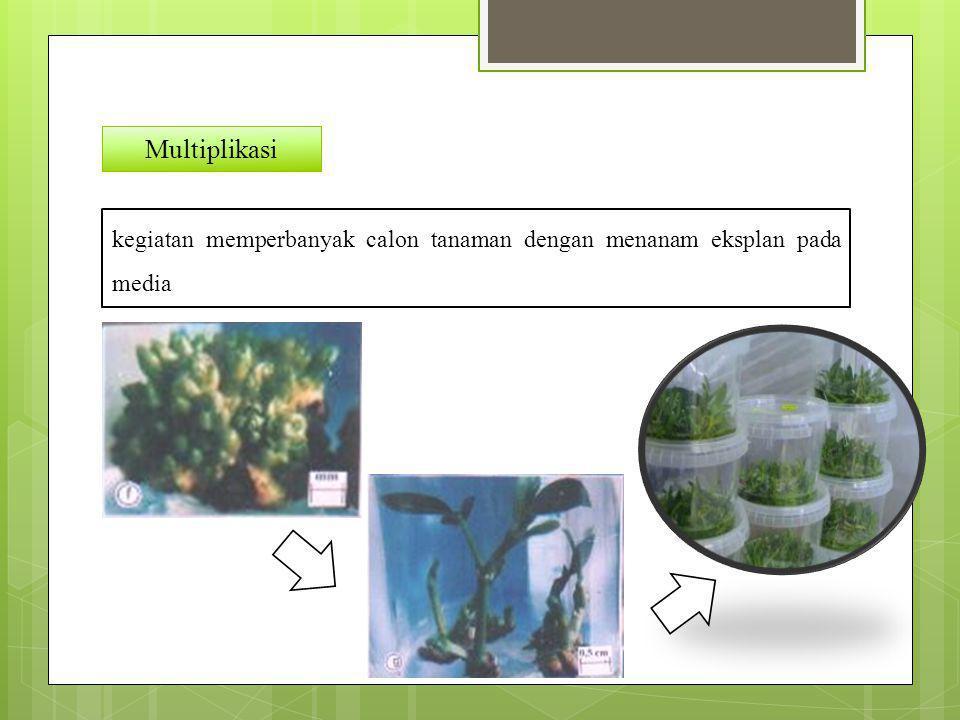 Multiplikasi kegiatan memperbanyak calon tanaman dengan menanam eksplan pada media