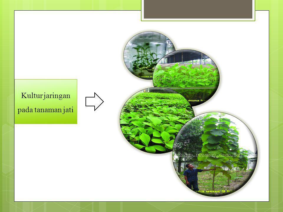 Kultur jaringan pada tanaman melinjo