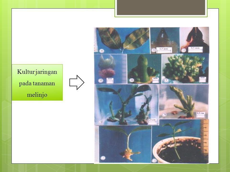 Urutkan tahap-tahap perbanyakan tanaman dengan tenik kultur jaringan di bawah ini .