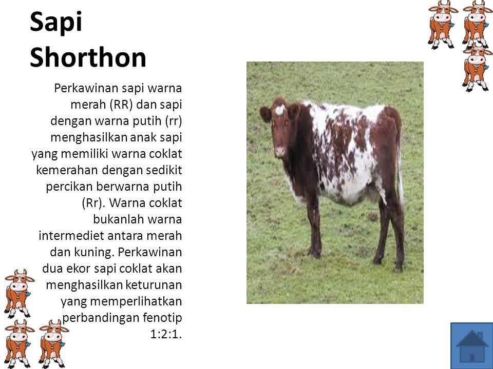 KODOMINAN Contoh dari kodominan adalah sapi luar negeri Shorthorn.