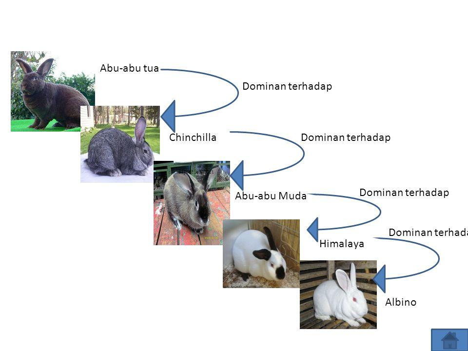 Kelinciku..kelinciku.. Gen warna rambut kelinci memiliki empat alel, yaitu C, c ch,, dan c. Alel-alel tersebut memiliki urutan dominansi, yaitu C pali