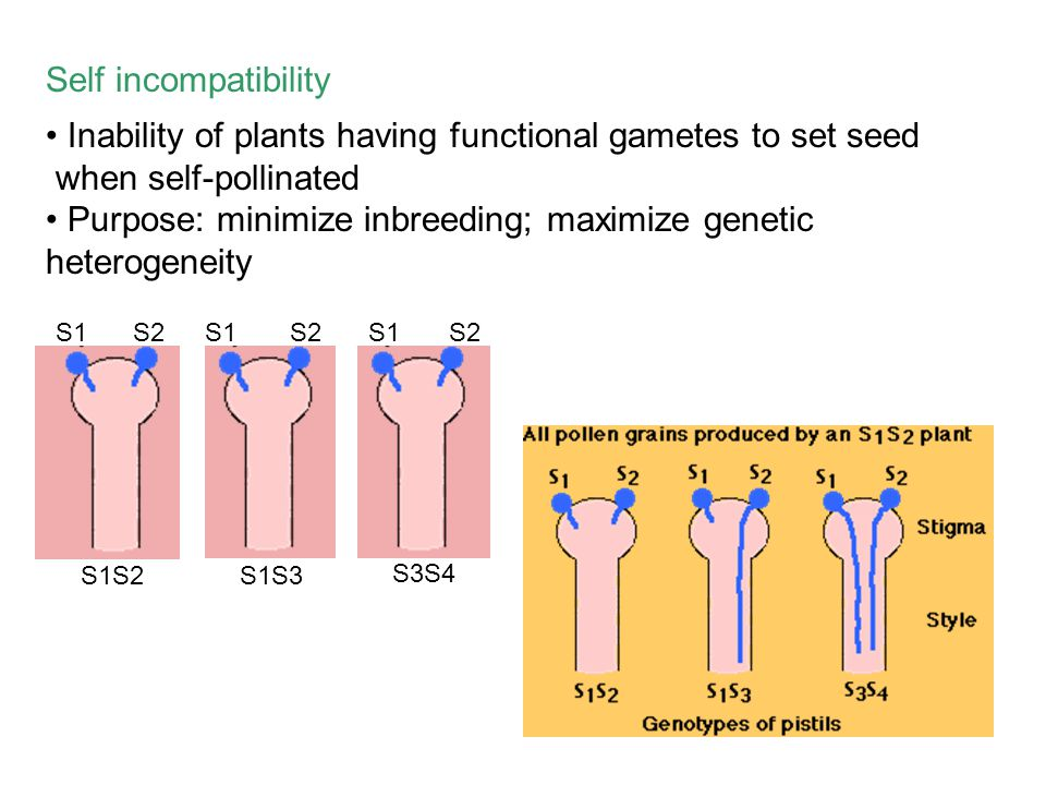 Self incompatibility Inability of plants having functional gametes to set seed when self-pollinated Purpose: minimize inbreeding; maximize genetic het