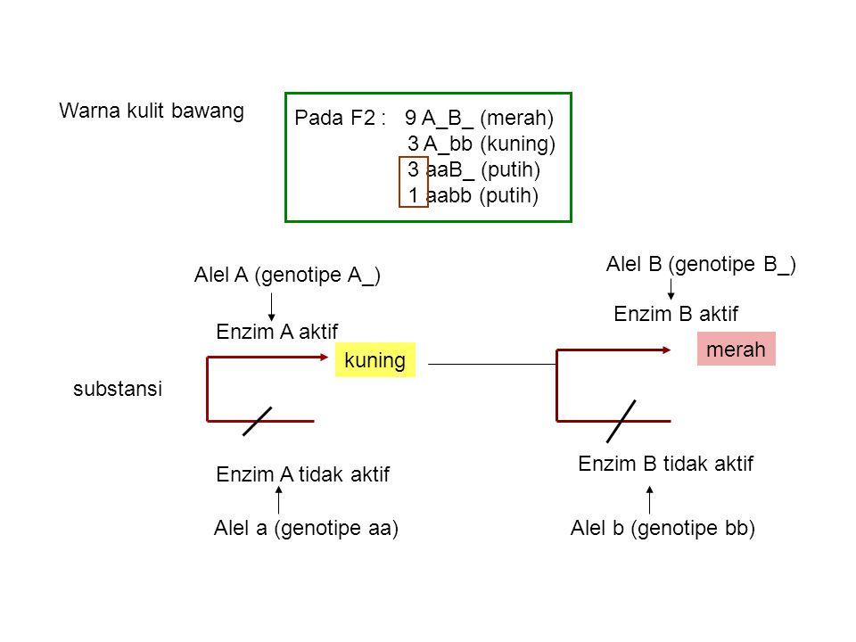 Pada F2 : 9 A_B_ (merah) 3 A_bb (kuning) 3 aaB_ (putih) 1 aabb (putih) Warna kulit bawang substansi Alel A (genotipe A_) Enzim A aktif kuning Alel a (