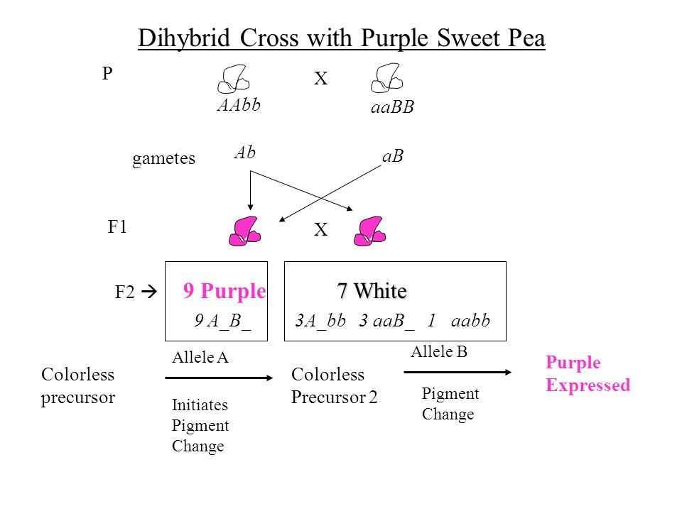 Dihybrid Cross with Purple Sweet Pea Colorless precursor Allele A Initiates Pigment Change Colorless Precursor 2 Allele B Pigment Change Purple Expres