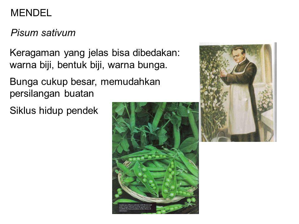 MENDEL Pisum sativum Keragaman yang jelas bisa dibedakan: warna biji, bentuk biji, warna bunga. Bunga cukup besar, memudahkan persilangan buatan Siklu