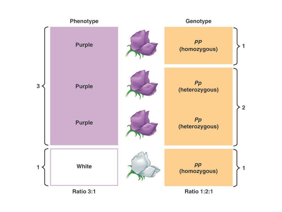 Additive gen action: tiap alel pada satu lokus akan menambah atau mengurangi derajat nilai fenotipe warna bagian dalam biji gandum - 3 lokus R1, R2 dan R3 dengan 2 alel pada tiap lokus - merah gelap ke putih - intensitas warna tergantung pada jumlah dari alel yang menambah warna.