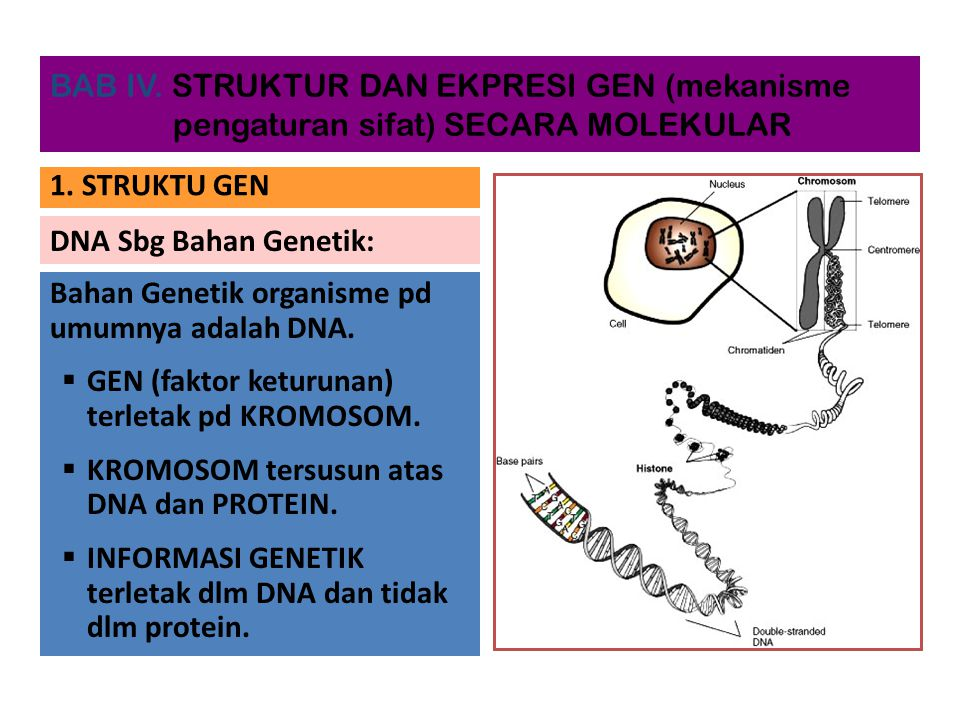 DNA Sbg Bahan Genetik: Bahan Genetik organisme pd umumnya adalah DNA.  GEN (faktor keturunan) terletak pd KROMOSOM.  KROMOSOM tersusun atas DNA dan