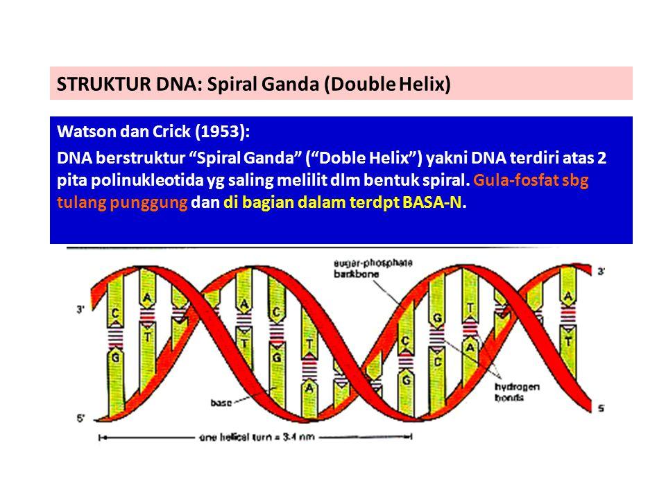 "STRUKTUR DNA: Spiral Ganda (Double Helix) Watson dan Crick (1953): DNA berstruktur ""Spiral Ganda"" (""Doble Helix"") yakni DNA terdiri atas 2 pita polinu"