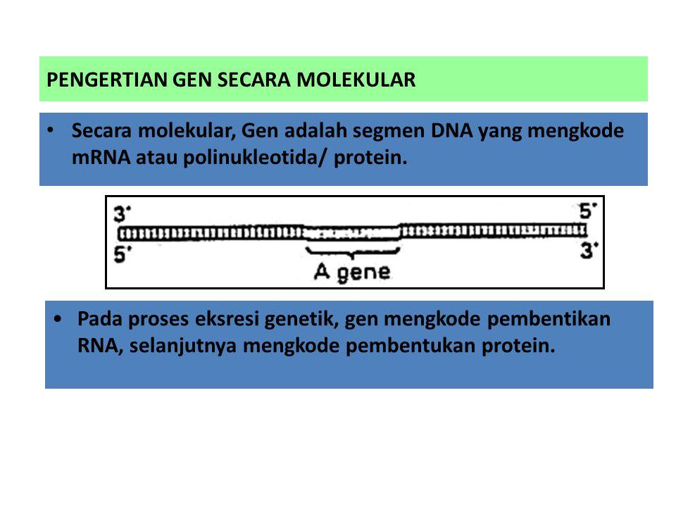 PENGERTIAN GEN SECARA MOLEKULAR Secara molekular, Gen adalah segmen DNA yang mengkode mRNA atau polinukleotida/ protein. Pada proses eksresi genetik,