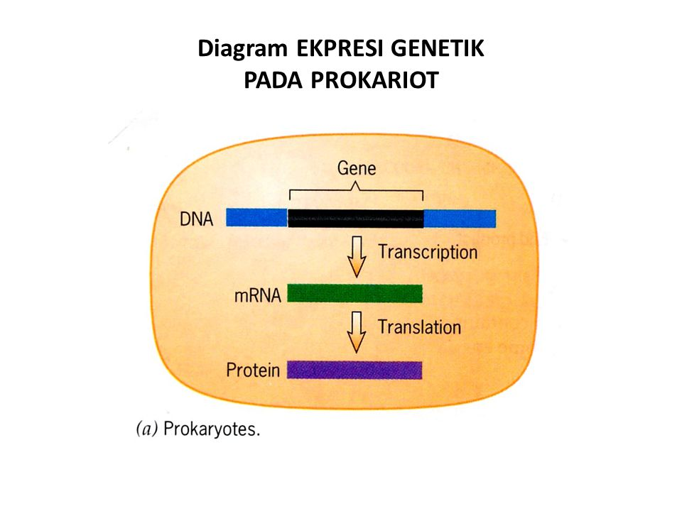 Diagram EKPRESI GENETIK PADA PROKARIOT