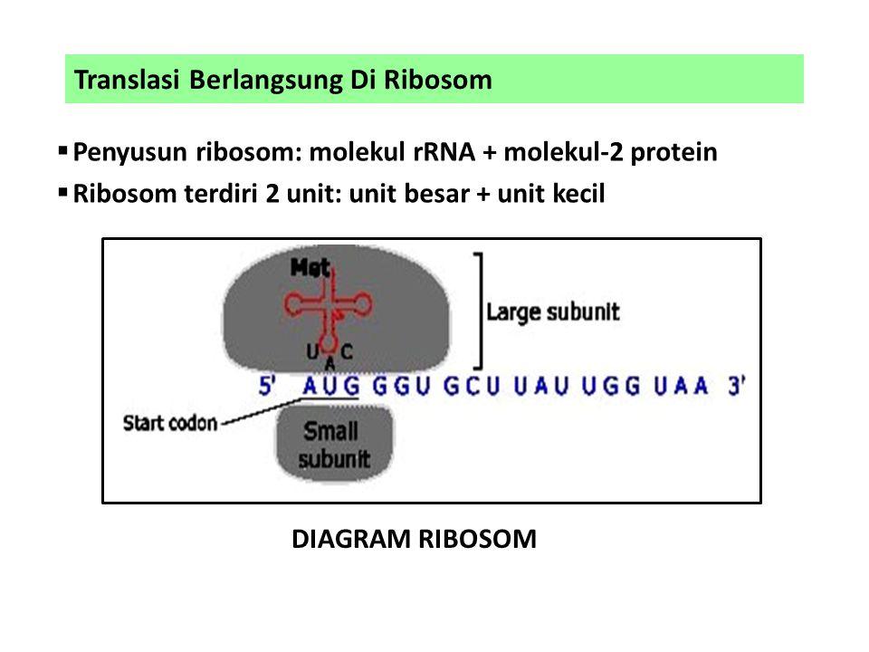 Translasi Berlangsung Di Ribosom  Penyusun ribosom: molekul rRNA + molekul-2 protein  Ribosom terdiri 2 unit: unit besar + unit kecil DIAGRAM RIBOSO