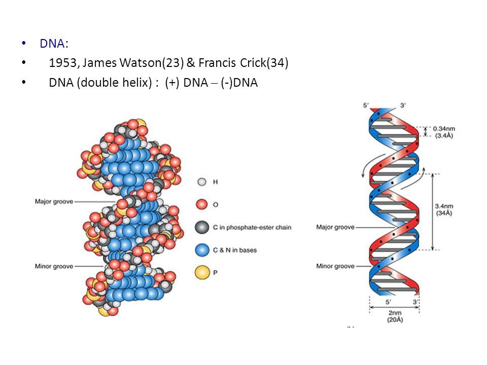 DNA: 1953, James Watson(23) & Francis Crick(34) DNA (double helix) : (+) DNA – (-)DNA