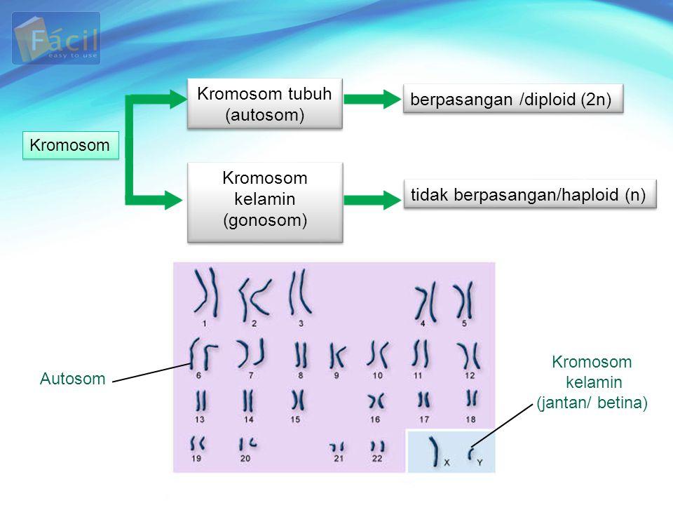 Kromosom tubuh (autosom) Kromosom tubuh (autosom) Kromosom kelamin (gonosom) Kromosom kelamin (gonosom) Kromosom berpasangan /diploid (2n) tidak berpa