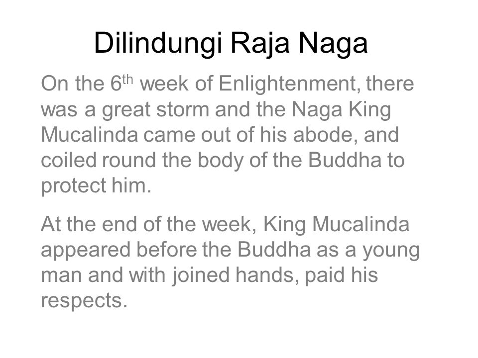 Dilindungi Raja Naga On the 6 th week of Enlightenment, there was a great storm and the Naga King Mucalinda came out of his abode, and coiled round the body of the Buddha to protect him.