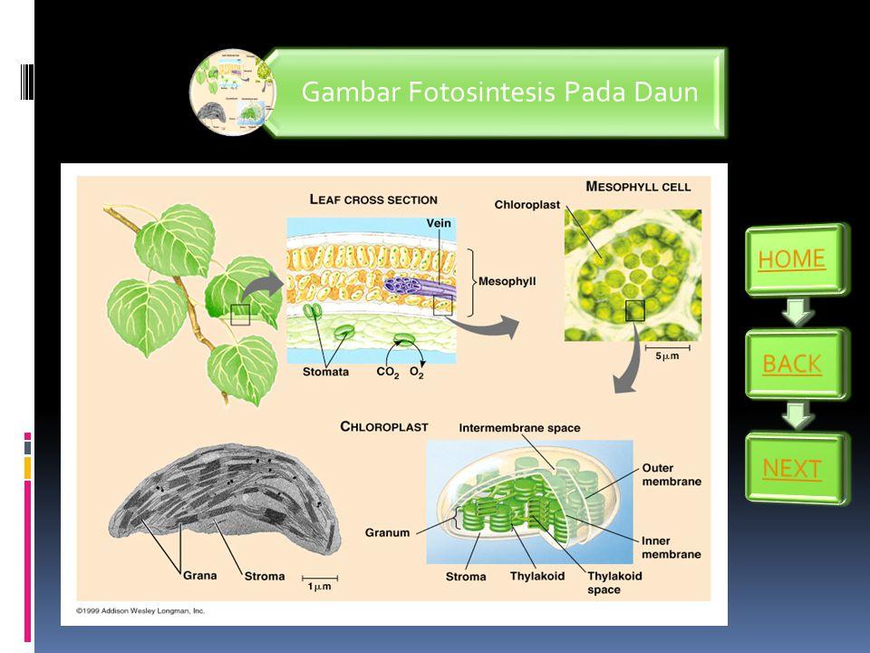 Gambar Fotosintesis Pada Daun