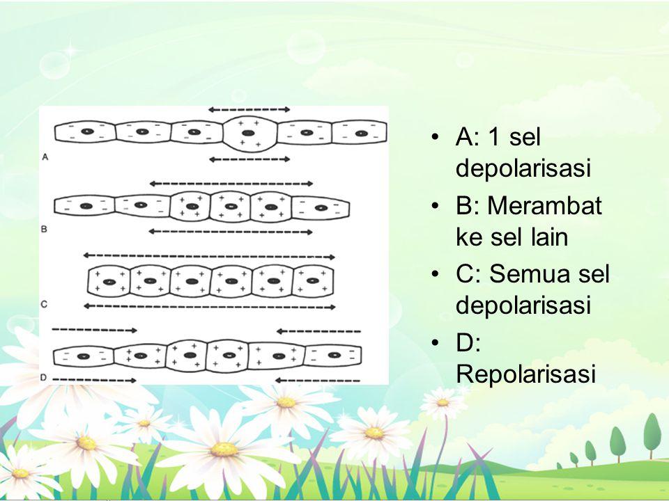 A: 1 sel depolarisasi B: Merambat ke sel lain C: Semua sel depolarisasi D: Repolarisasi