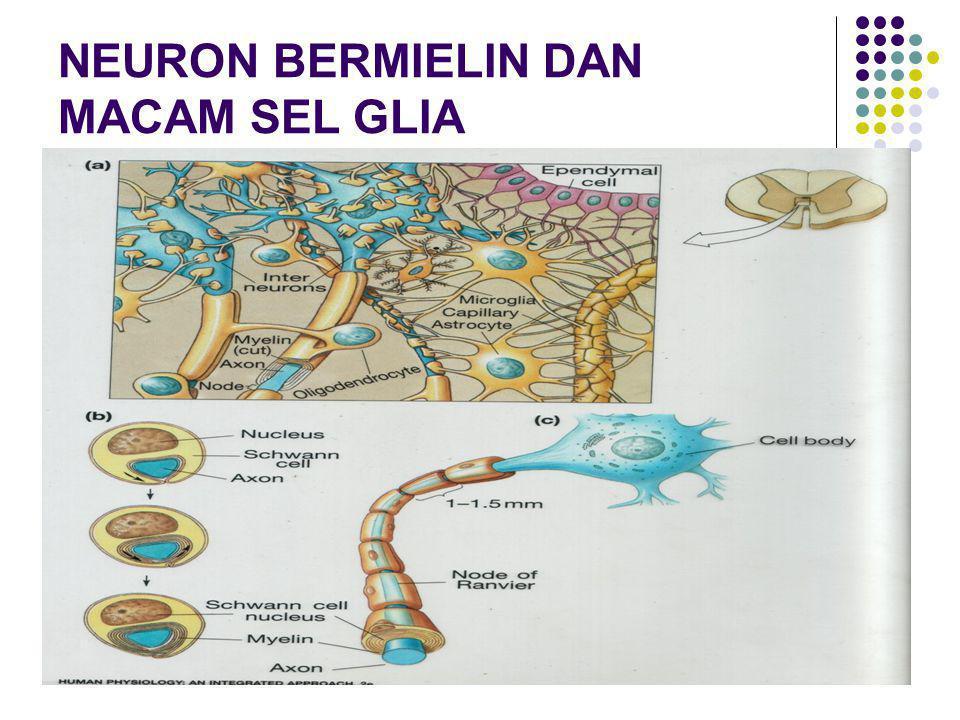 CEREBRUM terbagi atas 4 lobus : Lobus temporalis  intepretasi bau, memori Lobus frontalis  gerakan motorik Lobus parietalis  pendengaran, taktil Lobus oksipitalis  visual