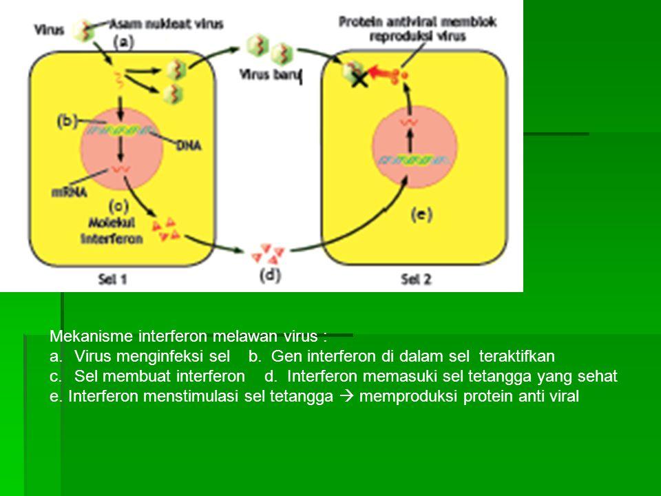 Mekanisme interferon melawan virus : a.Virus menginfeksi sel b. Gen interferon di dalam sel teraktifkan c.Sel membuat interferon d. Interferon memasuk