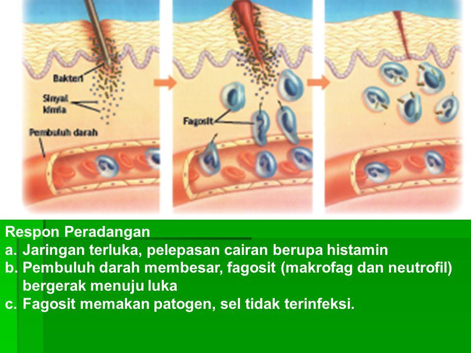 Respon Peradangan a.Jaringan terluka, pelepasan cairan berupa histamin b.Pembuluh darah membesar, fagosit (makrofag dan neutrofil) bergerak menuju luk