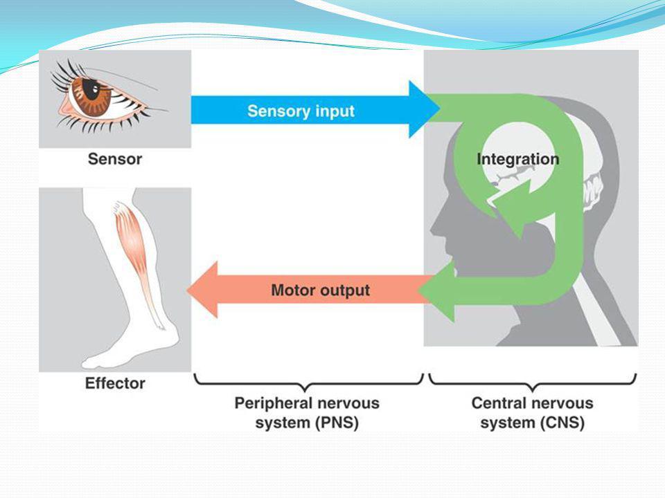 SENSASI (SENSIBILITAS) : Superfisial = eksteroseptif /protopatik Rasa raba Rasa nyeri Rasa suhu Dalam = propioseptif Rasa gerak Rasa sikap Rasa getar Rasa tekan dalam Rasa nyeri dalam otot Viseral = interoseptif Khusus