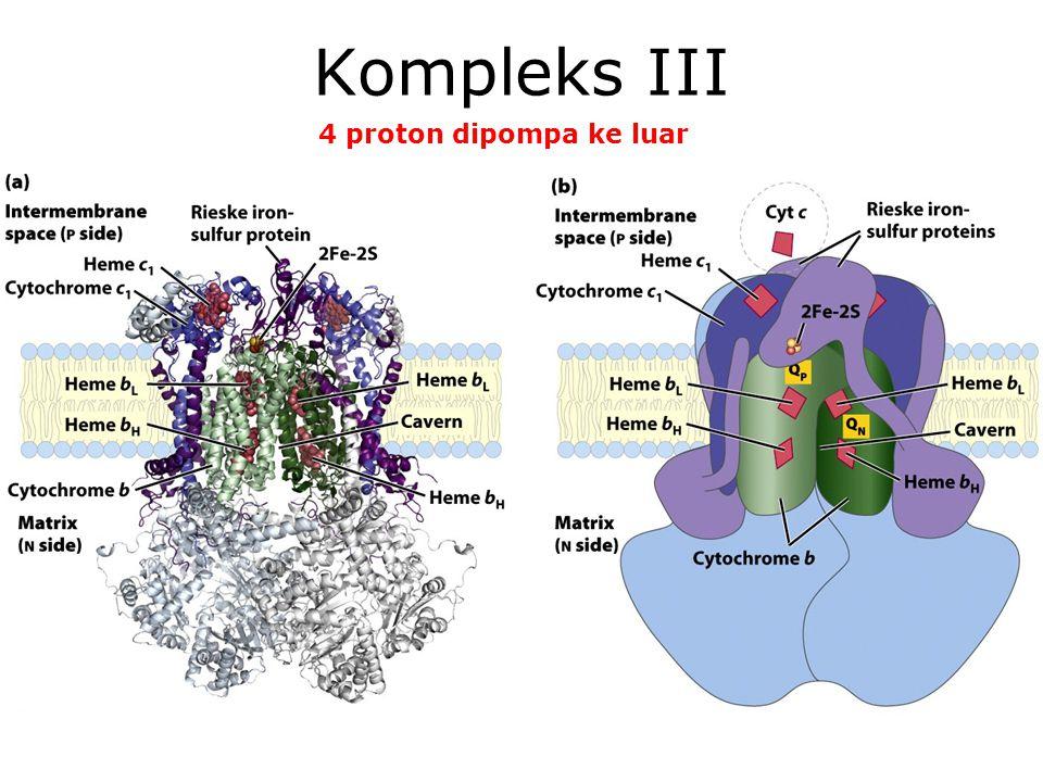 KI3061Zeily Nurachman10 Kompleks III 4 proton dipompa ke luar