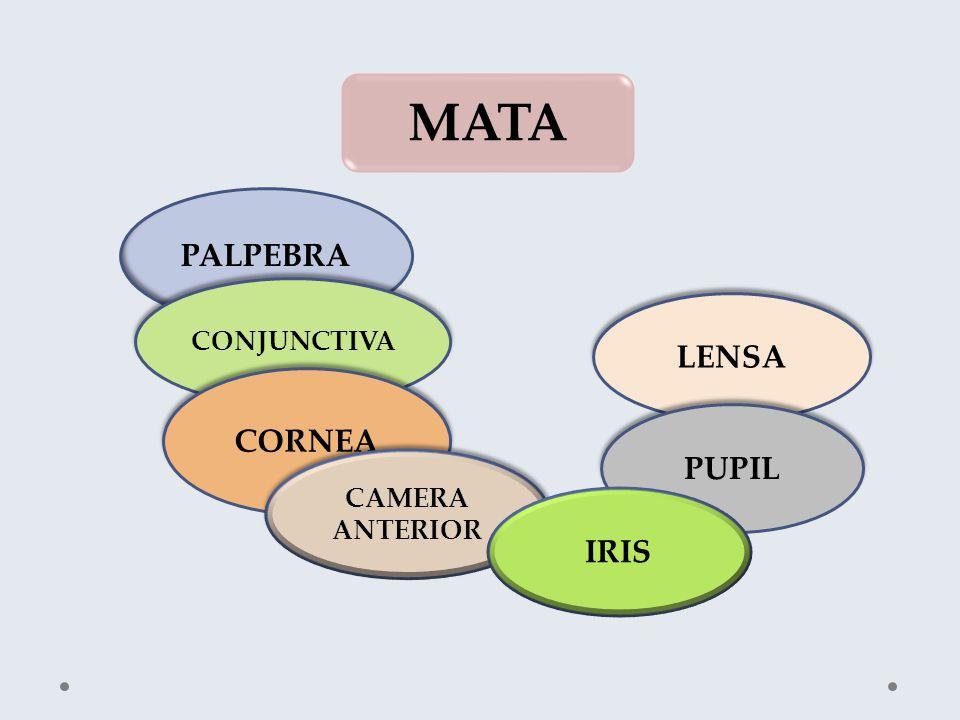 MATA PALPEBRA LENSA PUPIL CONJUNCTIVA CORNEA CAMERA ANTERIOR CAMERA ANTERIOR IRIS